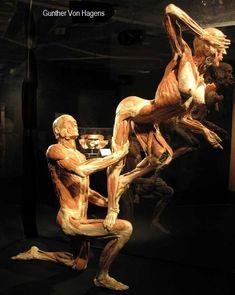 BODY WORLDS & The Cycle of Life – exhibiting real human bodies in Cape Town - Popular Mechanics Anatomy Art, Human Anatomy, Gunther Von Hagens, Bodies Exhibit, Gross Anatomy, Artistic Visions, Real Bodies, Cycle Of Life, Muscle Anatomy