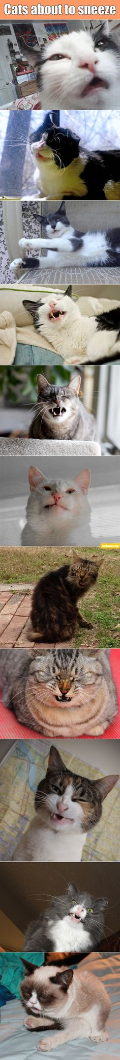 """LOL - this is the most random set of cat photos I've seen yet. """"Cats about to sneeze."""""""