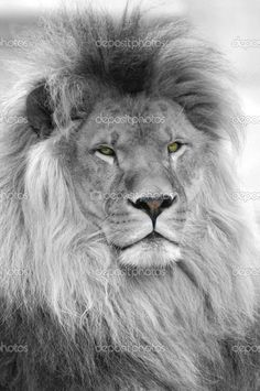 Black And White Lion | Black and white portrait of lion | Stock Photo © Christian Musat ...
