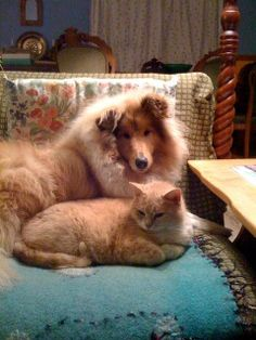 Here are my matching Rough Collie and ginger puss- Pookie and Kai