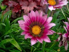Annual Flower Seeds Gazania Seeds New Day Varieties