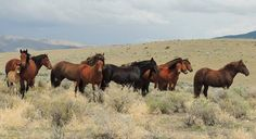 Pine Nut Wild Horse Advocates Rarely do we get a glimpse of the elusive Shorty band. Here Malinda Humphrey gets a nice shot of this group. It's such a beautiful picture perfect day featuring this family with three little ones, enjoying their freedom on the range. Shorty is in the very front on the right. An fun story about these guys involves Jake, the almost four year old colt shown on the left behind his mother, Lola and foal. One day Shorty was off playing with the bachelors and his mares…