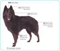 Groenendael Shepherd Dog | Dog Breeds: Belgian Shepherd
