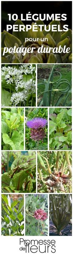 Un potager durable et automne, où les légumes ne demanderaient presque pas d'entretien et repousseraient avec récolte… C'est possible, au moins partiellement… grâce aux légumes perpétuels ou vivaces.