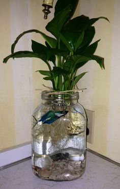 Betta fish with a Peace Lily in a simple jar  ~  Bigger jar would be better...