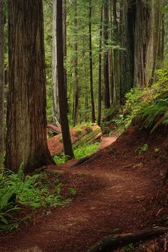 James Irvine Trail, Prairie Creek Redwood State Park