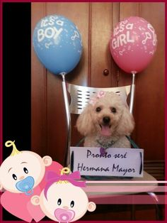 Anuncio de embarazo, perritos familia