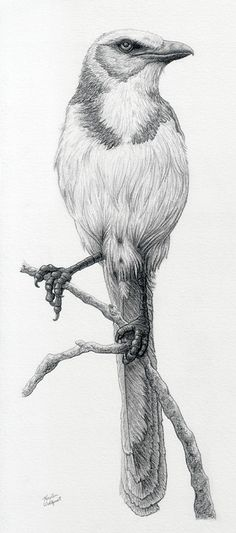 Najlepsze Obrazy Na Tablicy Ptaki Rysunek Ołowkiem 70 Realistic