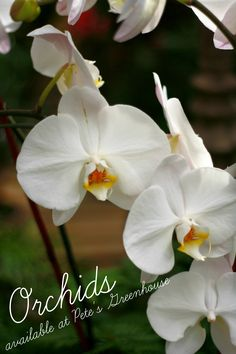 Here are some tips for keeping your orchids blooming: 1. Never touch the blooms. The oils in your skin will kill them.  2. Water your orchid about once a week in the morning.  3. Use rainwater rather than tap water.  4. Never place orchids in direct sunlight. The best location is behind curtains in a window.  5. Open windows or use a fan to allow air to circulate. Orchids need gentle breezes and a continual supply of carbon dioxide.  6. Use a specialized orchid fertilizer.