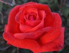 Dolly Parton™, Hybrid Tea rose