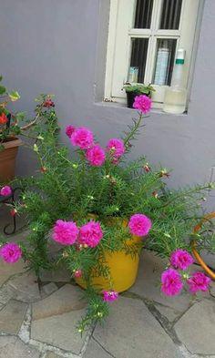 Foto: Boa Noite,!!!!! Meus queridos-as +Google.  11 horas Bottle Garden, Plants In Bottles, Portulaca Flowers, Fairy Garden Diy, Flower Garden, Patio Flowers, Flower Garden Pictures, Pretty Plants, Portulaca Grandiflora
