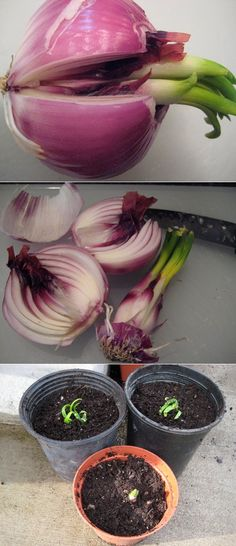 SO MANY GREAT IDEAS!!!! How to grow sprouted onions