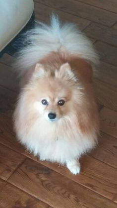 Pomeranian named Tiki