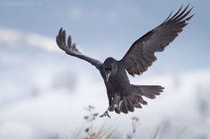 Raven by Hristo Peshev, via 500px
