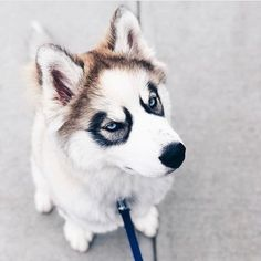 Cute husky puppy Cute husky puppy Life with a Siberian husky Cute Husky Puppies, Husky Puppy, Cute Dogs, Dogs And Puppies, Doggies, Cute Baby Animals, Animals And Pets, Funny Animals, Husky Breeds
