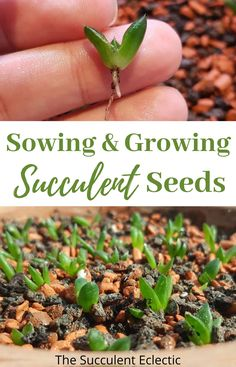 Learn all about sowing and growing succulent seeds into new plants! It's a cost-effective way to grow your succulent collection and to add some rare and fun varieties! Growing Succulents, Cacti And Succulents, Planting Succulents, Cactus Plants, Succulent Bonsai, Succulent Seeds, Succulent Care, Cactus Types, Desert Plants