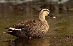 Eastern Spot-billed Duck, Anas zonorhyncha, Japan, by Owen Deutsch