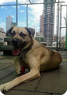 Pictures of Bella a Husky/Labrador Retriever Mix for adoption in New York, NY who needs a loving home.