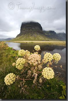 Angelica herb and Lómagnúpur mountain, South of Iceland... http://www.extremeiceland.is/en/destinations/south-iceland