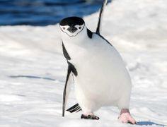 Científicos de la Universidad de Murcia, encontraron restos de metales pesados en plumas de pinguinos que habitan en la Antártica. Fotografí...