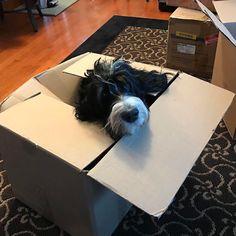 If it fits it ships! #moving #movingonup #movingday #Regram via @bernedoodle_gaia  . . . .  #rockymtnbernedoodles #bernedoodles #bernese #bernedoodle #bernedoodlebreeder #minibernedoodle #standardbernedoodle #australianbernadoodle #microminibernedoodle #doodlebreeder #doodle #poodle #puppy #dog #bernedoodlesofinsta #bernedoodlesofig #puppiesofinstagram #doodlesofinstagram #teddybearbernedoodle #tricolor #doodletales #doodlesunited #dogsofig #dogsofinsta #petstagram #doodlelovers
