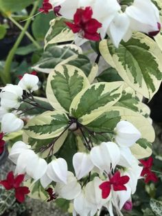 Clerodendrum thomsoniae variegata 'Variegated White Bleeding Heart' Rare Plants, Little Plants, New Leaf, Tropical Garden, Heart Shapes, Vines, Bloom, My Favorite Things, Flowers