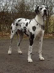 Great Dane- with natural ears!!