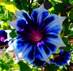 Kikyo-SNOWFLAKES-Very-RARE-EXQUISITE-Morning-Glory-Vine-14-Seeds