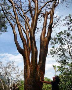 Para nosotros es un privileguo tener la oportunidad de mostrarte las bellezas de la naturaleza y sus maravillas  todos los días a través de esta ventana.  Hoy los participantes del Taller de Identificación de Árboles Urbanos pudieron ver oler sentir y hasta escuchar esa biodiversidad que hace de Venezuela una tierra privilegiada.  Hoy pudimos acompañar a 26 #CiudadanoEcoResponsable a conectarse con la naturaleza a través del descubrimiento de los árboles esos gigantes que muchas veces pasan…