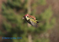 This IS really cool! #Photo Weasel Seen on a FLYING Woodpecker! http://www.slate.com/blogs/wild_things/2015/03/03/weasel_on_a_woodpecker_photo_photographer_says_it_s_a_real_weaselpecker.html
