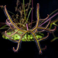 Drosera multifida [Extrema]