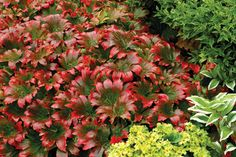 Great Design Plant: Red-Leafed Mukdenia
