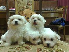 Maltese puppie #maltese puppies
