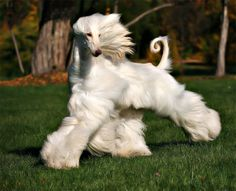 Beautiful gait on this Afghan Hound. Great tail ring too. Beautiful Dogs, Animals Beautiful, Cute Animals, Photo Animaliere, Dog Runs, Tier Fotos, Hound Dog, Afghan Hound Puppy, Whippet