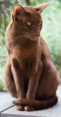 The Havana Brown Cat - Cat Breeds