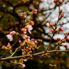 #cherryblossom  #flower #flowers #ig_flowers #superb_flowers #FlowerStalking #wp_flower #桜