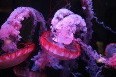 tuscany villa rentals reviews Jellyfish at the Shedd Aquarium  like pin?