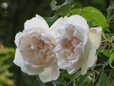 Mme. Alfred Carrière,  It bears large, cupped informal shaped, creamy white blooms flushed with pink, which have a sweet tea rose fragrance. In June and July it produces a magnificent display of blooms and continues to flower with great regularity until late in the season. This is a healthy, reliable and hardy climber with strong, upright growth and plentiful foliage is suitable in shade, on a north facing wall or growing through a tree. 20ft