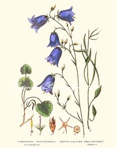 NATIVE Beautiful illustration of Campanula Rotundfolia, Round-leaved Bellflower (Harebell) This botanical print has been digitally restored to bring