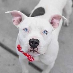 Pictures of Maxwell a Pit Bull Terrier for adoption in Elmsford, NY who needs a loving home.