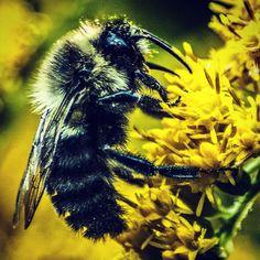 Bumblebee on goldenrod. #bumblebee #summer #photography #insect #canon #t6i #flowers #goldenrod #2015 #NY #yellow #bee #beesofinstagram #backyard #macro #closeup