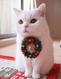 PetsLady's Pick: Cute Christmas Decoration Cat Of The Day...see more at PetsLady.com -The FUN site for Animal Lovers