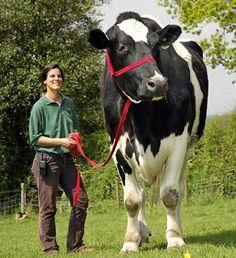 Whoa- Big Cow!