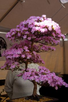 Japanese Cherry Bonsai Tree | Recent Photos The Commons Getty Collection Galleries World Map App ...