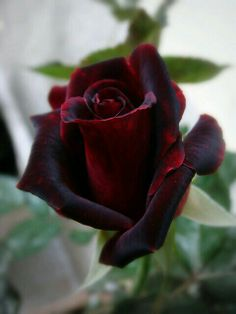 A Dark Reddish And A Purple Rose. A Beautiful Gorgeous Rose. Amazing Flowers, Love Flowers, My Flower, Pretty Roses, Beautiful Roses, Rose Meilland, Hybrid Tea Roses, Deco Floral, Black Flowers