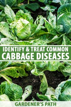 Is your cabbage crop suffering? A wide array of organisms can infect cabbage plants, and some diseases are more severe than others. Learn more about the common diseases that may affect your cabbage plants and what steps you can take to minimize infection now on Gardener's Path. #cabbage #diseases #gardenerspath Organic Gardening, Gardening Tips, Cabbage Plant, Love The Earth, Backyard Vegetable Gardens, Urban Homesteading, Raised Garden Beds, Growing Vegetables, Sustainable Living
