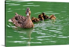 A female mallard and four of her ducklings