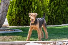 Airedale Terrier Given their legendary loyalty, Airedale Terriers are extremely trustworthy with children. They're eager to please and quick learners, but they can struggle to get along with other dogs. Medium Sized Dogs Breeds, Airedale Terrier, Terriers, Medium Dogs, Dog Breeds, Puppies, Pets, Children, Loyalty