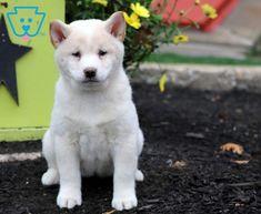 Luna   Shiba Inu Puppy For Sale   Keystone Puppies Cute Puppies For Sale, Shiba Inu, Husky, Wolf, Best Friends, Dreams, Animals, Beat Friends, Bestfriends