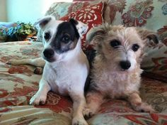 My Jack Russell & Jack-a-poo